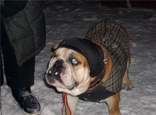 Пальто для бульдога.